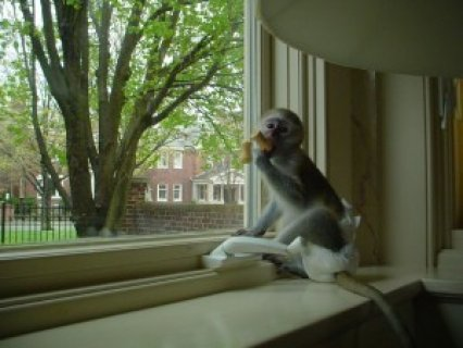 ***Beautiful boy and girl baby Capuchin Monkeys for Adoption thi