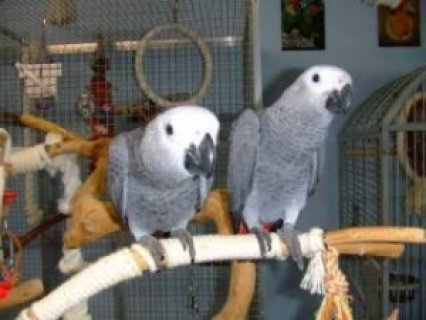 Adorable, Tame, African Grey Parrots for Sale