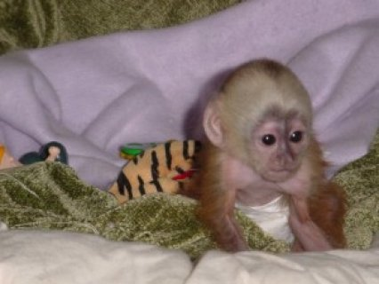 healthy vet checked capuchin monkey for re-homing