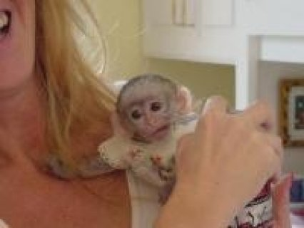 Two capuchin monkeys for adoption to good and caring families.
