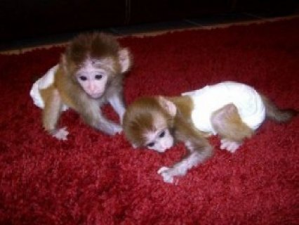 Male and female lovely capuchin monkeys for adoption.
