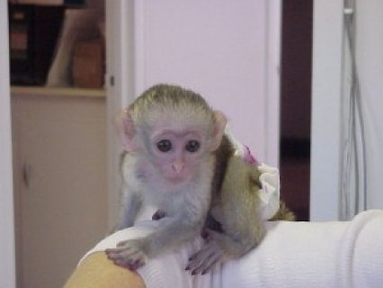 Healthy Capuchin Monkeys for free homes