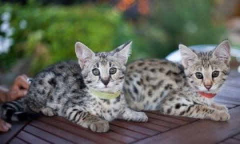 F1 Savannah and Serval Kittens
