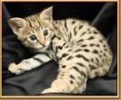 nice looking male and female savannah kittens for adoption