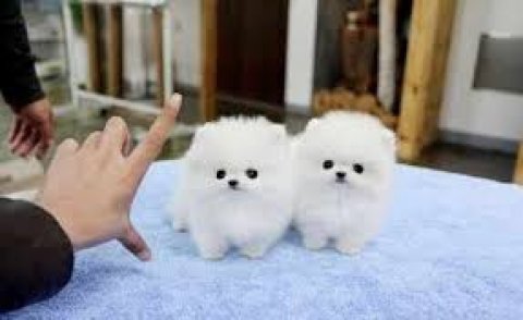 Pomeranian puppies for adoption 444444444