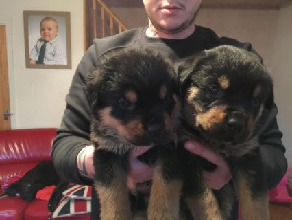 Rottweiler puppies for adoption 9999999