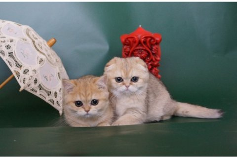 Scottish Fold Kittens for adoption12345