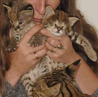 lovely Savannah kittens available for adoption.098765
