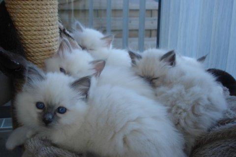 Adorable Birman kittens for adoption 342q45q13