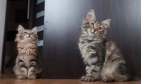 Siberian Kittens Available FOR ADOPTION23456789765