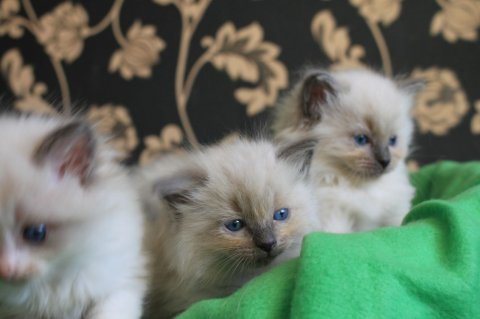 Ragdoll Kittens for sale.345678