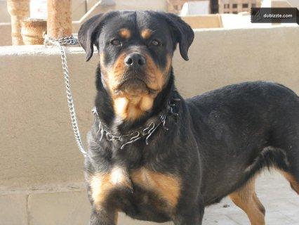 Rottweiler female for sale نتاية روت وايلر للبيع
