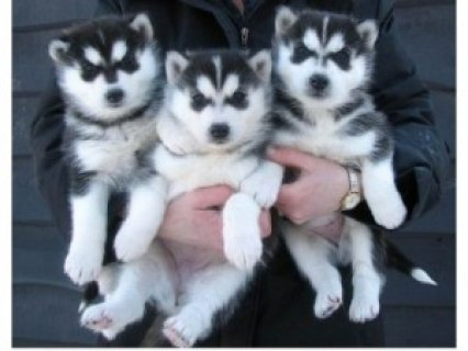 Siberian Huskies for Adoptioin