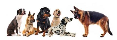 لدينا مجموعة مميزة من الكلاب ذات السلالات المحترمة