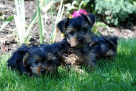 Cute Teacup Yorkie Puppies For Free AdoptionCute Teacup Yorkie P