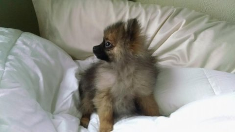صور We have AKC male and female Pomeranian pups 1