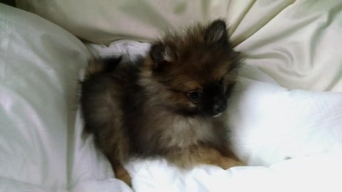 Akc princess pomeranian Puppy