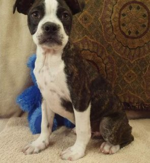 Healthy AKC Registered Boston Terrier Puppies for Adoption