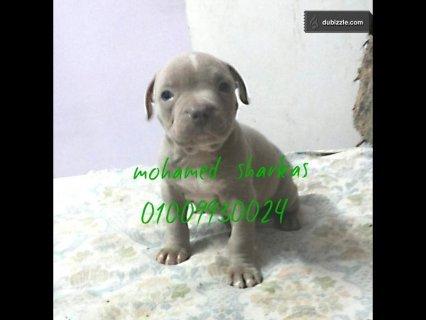 لهوات الالوان النادره كلب بيتبول سلفر ردنوس  0100993002