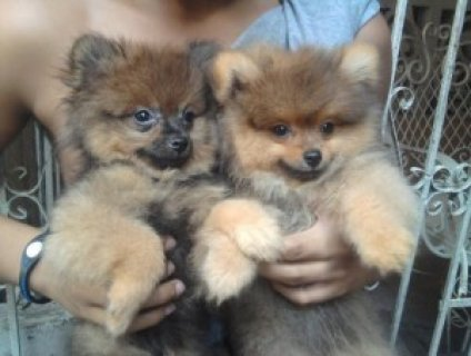 Well brought up pom puppies