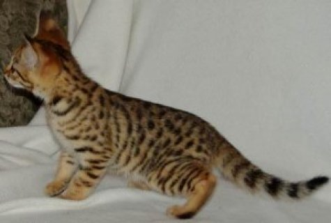 Savannah Kittens Ready(F2 Litter)