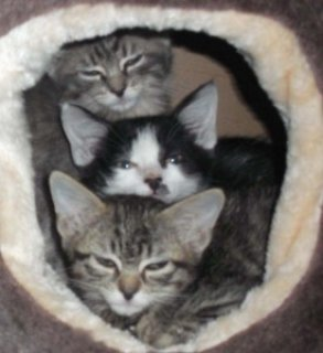 Kittens/Young Cats for Adoption