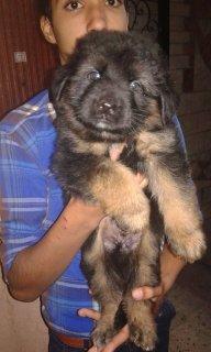 جراوي لونج هير من اضخم الكلاب الجرمن شبرد لونج هير