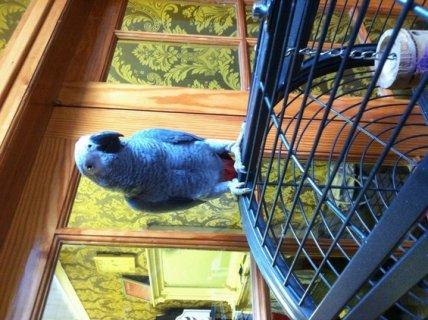 blue macaw parrots for sale