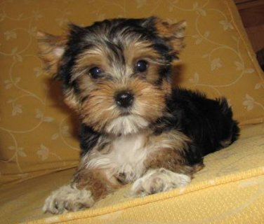 male and female teacup yorkie babies