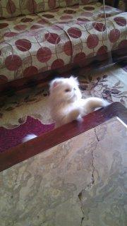 قطة شيرازي بيكي فيس بيضاء شعر طويل سلالة أصيلة مطعمة