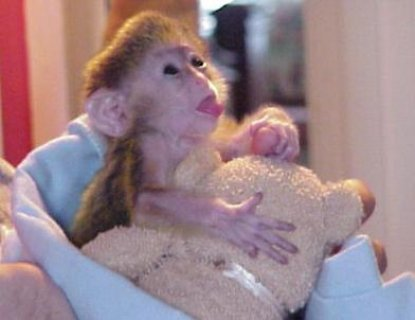 Lovely Baby Capuchin Monkeys For Free Adoption $180.00