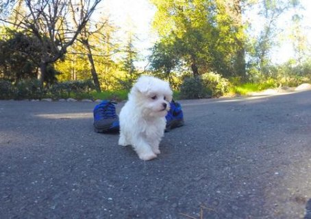 white Maltese Puppies Available