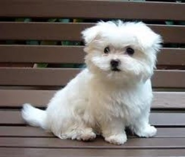 Maltese Puppies for Adoption   I have a male and a female Maltes