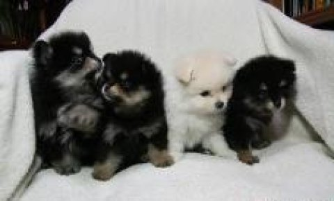 Home raised Pom puppies available. serious contact only