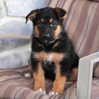 صور Extra Charming German Shepherd Puppies Available For Sale 1