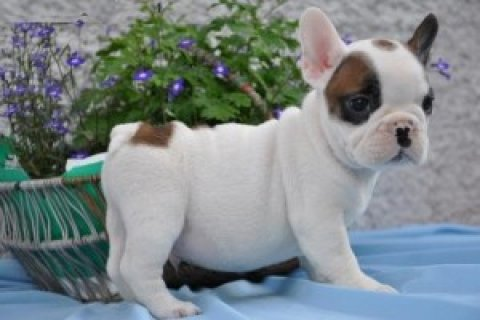 joyfull French Bull Dog Puppies