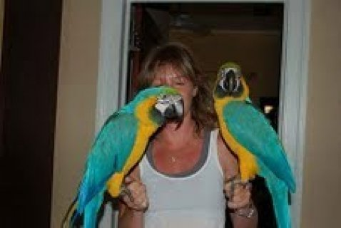 Male and Female Blue and Gold Macaw Parrots for adoption