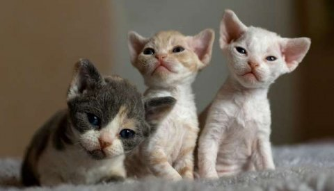 Adorable Devon Rex Kittens for sale