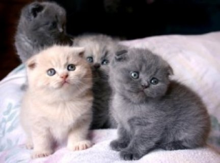 صور Kittens Scottish fold for Adoption 1