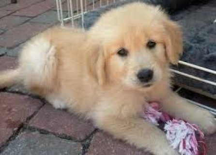 Cute Male and Female Golden Retriever puppies.