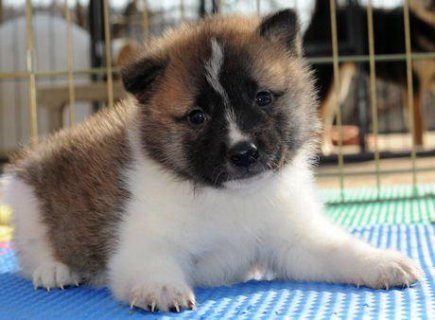صور Cute baby face akita Puppies for adoption 1