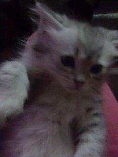 قطة شيرازى للبيع