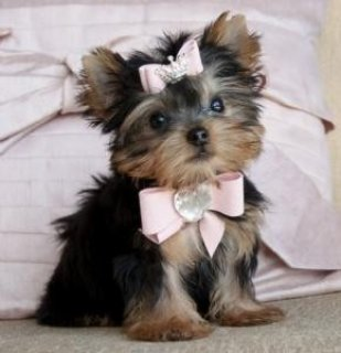 Adorable Teacup Yorkie Puppies for sale