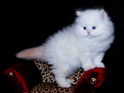 socialized male and female Persian kittens