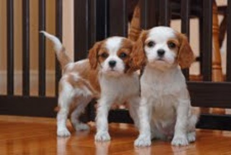 Available Cavalier King Charles Spaniel Puppies For Sale.