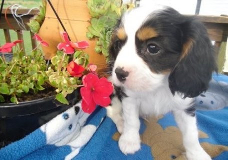 excellence cavalier king charles spaniel puppies for sale