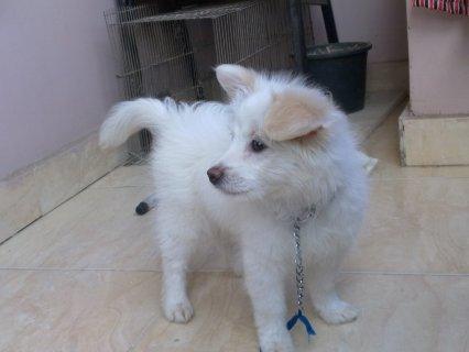 كلب لولو ابيض ازن بنية اللون لعبي جدا