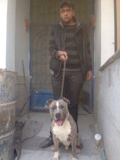 للبيع American Staffordshire terrier زكر وانثي