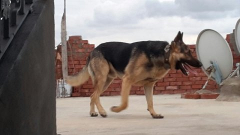 اقوى فصيلة كلاب ( الكلب الذئب )
