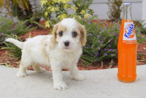 Cavachon Designer Breed Female Pup! (Cavalier and Bichon Frise)